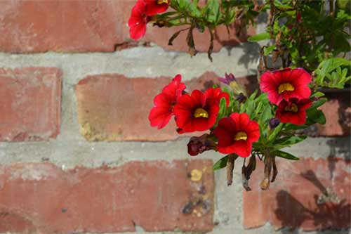 Brick wall with red flowers in front, picture